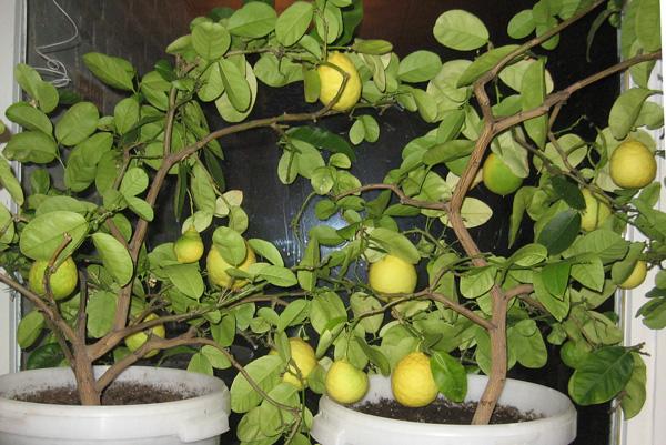 Otthon nevelt citrom