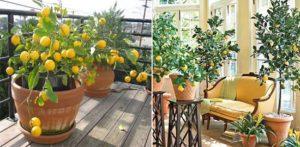 Terasz citrom