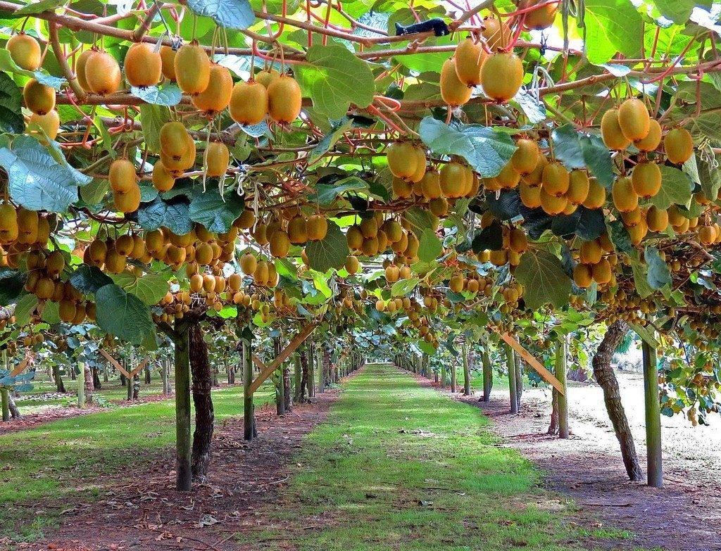 Kivi és füge termesztése otthon
