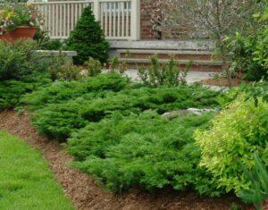 Fenyő és örökzöldek a kertben